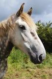 łyknięcia konia irlandczyk Fotografia Royalty Free