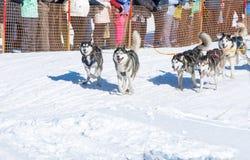 Łyknięcie psy w zimie Fotografia Royalty Free