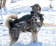 Łyknięcie psy w zimie Zdjęcie Royalty Free