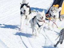 Łyknięcie psy w zimie Obrazy Royalty Free
