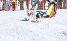 Łyknięcie psy w zimie Obrazy Stock