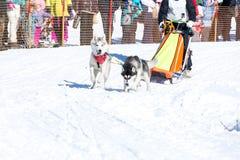 Łyknięcie psy w zimie Zdjęcia Royalty Free