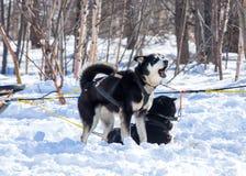 Łyknięcie psy w zimie na Kamchatka Fotografia Royalty Free