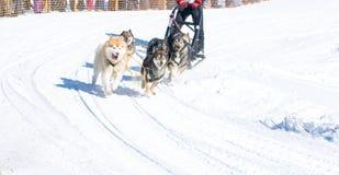Łyknięcie psy w zimie na Kamchatka Obraz Stock