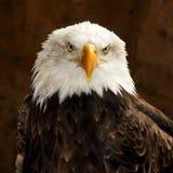 Łysego Eagle Haliaeetus leucocephalus, portret zdjęcie stock