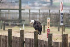 Łysego Eagle Haliaeetus leucocephalus umieszczał na drewnianym fenc fotografia royalty free