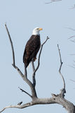 Łysego Eagle obsiadanie na gałąź Fotografia Royalty Free