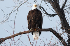 Łysego Eagle obsiadanie na gałąź Obrazy Stock