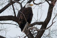 Łysego Eagle obsiadanie na gałąź Zdjęcie Royalty Free