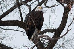 Łysego Eagle obsiadanie na gałąź Zdjęcia Royalty Free