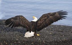 Łysego Eagle skrzydła rozszerzanie się obrazy stock