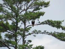 Łysego Eagle zagrożenie zdjęcia royalty free