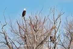 Łysego Eagles dopatrywanie od drzewo wierzchołka zdjęcie stock