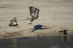 Łysego Eagles połów Zdjęcie Royalty Free