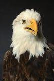 Łysego orła głowa Obrazy Royalty Free