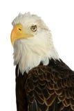 Łysego orła głowa Zdjęcia Stock