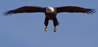 łysego orła haliaeetus leucocephalus Obrazy Royalty Free