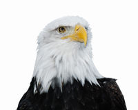 łysego orła haliaeetus leucocephalus Zdjęcia Royalty Free