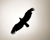 łysego orła kontur Zdjęcie Stock