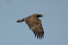 łysego orła latający potomstwa Zdjęcia Stock