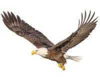 Łysego orła latania ręki farba i remis barwimy na białym tle royalty ilustracja