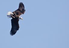 łysego orła latanie Fotografia Royalty Free