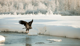 łysego orła latanie Zdjęcie Royalty Free