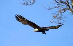 łysego orła lot obraz royalty free