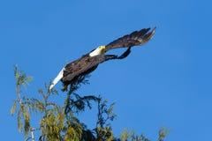 łysego orła lota zabranie Zdjęcie Stock