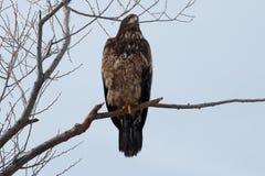 Łysego orła Niewyrobiony obsiadanie na gałąź Fotografia Stock