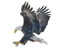 Łysego orła nurkowania ataka ręki farba i remis barwimy na białym tle Obraz Stock