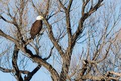 Łysego orła obsiadanie w drzewie Obrazy Royalty Free