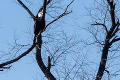 Łysego orła obsiadanie w drzewie Obraz Stock