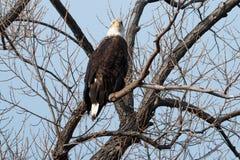 Łysego orła obsiadanie w drzewie Obrazy Stock