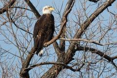 Łysego orła obsiadanie w drzewie Zdjęcia Royalty Free