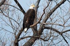 Łysego orła obsiadanie w drzewie Fotografia Royalty Free