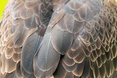 Łysego orła piórka Obrazy Royalty Free