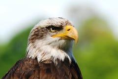 łysego orła portret Obraz Stock