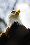 Łysego orła portret (Haliaeetus Leucocephalus) Fotografia Royalty Free