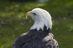 łysego orła profil Obraz Royalty Free