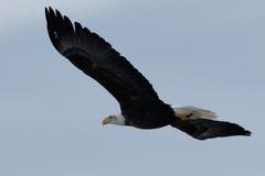 łysego orła target979_0_ Zdjęcia Royalty Free