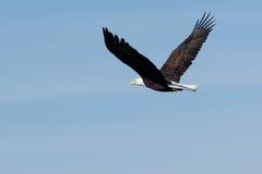 łysego orła target979_0_ Obrazy Royalty Free