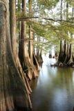 Łysi Cyprysowi drzewa przy jeziorami Ostrzą gdy słońce Zaczyna Ustawiać Obrazy Royalty Free