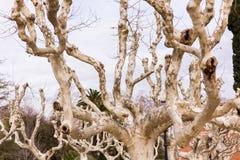Łysi drzewa z wyginającymi się siekającymi drzewami Obrazy Royalty Free