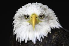 Łysy Eagle odosobniony portret zdjęcie stock