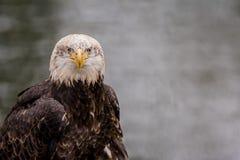 Łysy Eagle przed wodą zdjęcia stock