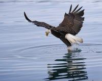 Łysy Eagle robi pluśnięciu obraz stock