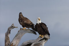 Łysy Eagle umieszczał na driftwood, homer Alaska Obrazy Stock