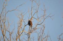 Łysy Eagle umieszczający w drzewie obrazy royalty free