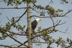 Łysy Eagle umieszczający w drzewie Obrazy Stock